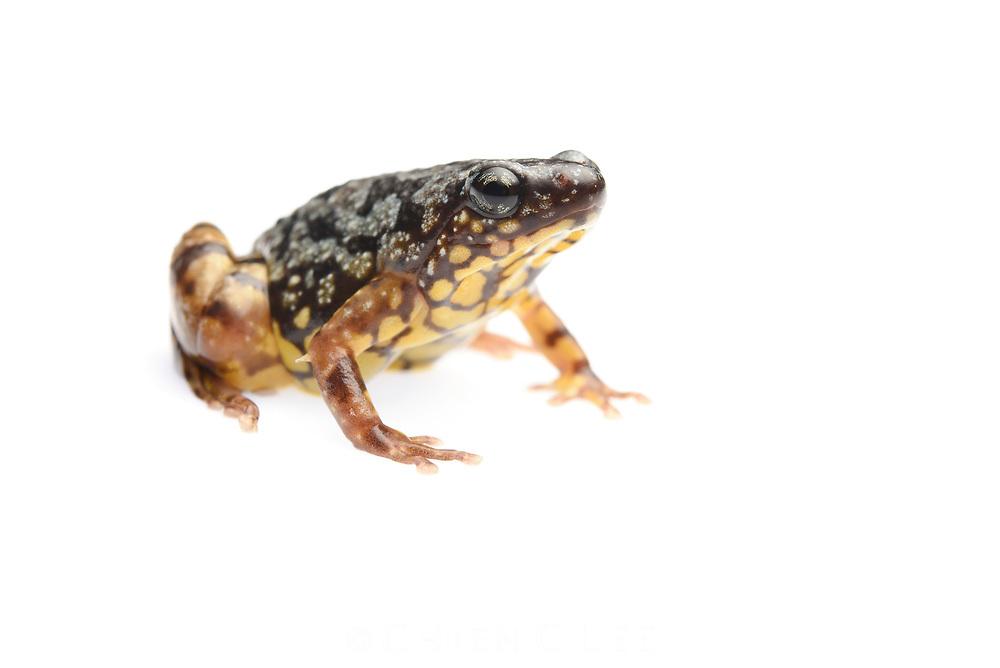 Saffron-bellied Frog (Chaperina fusca)