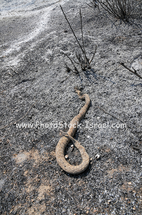 A snake, burnt to death in a fire caused by Kite bombs that were flown from Gaza with a lit petrol soaked cloth, to set fires to Israeli fields and crops. Photographed on July 13, 2018