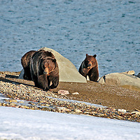 grizzly bears walking lake shore snow spring