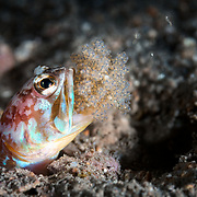 This is a male Opistognathus iyonis jawfish hatching a mouthful of eggs. A few of the juveniles can be seen swimming away. There are also two unfertilized eggs visible. Like other jawfish, the males of this species care for and protect developing juveniles, keeping the eggs in their mouths through the gestation period. The reproductive season is during the summer months. This shy small fish is known from the waters of the northwest Pacific, including South Korea and southern Japan. It reaches a length of about six centimeters.