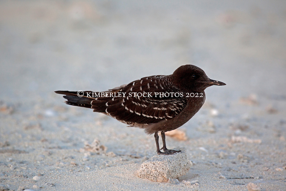 A  juvenile Sooty Tern on Bedwell Island, at the Rowley Shoals.