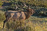 Bull Elk or wapiti ( Cervus canadensis) <br />Jasper National Park<br />Alberta<br />Canada