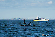 southern resident orca, or killer whale, Orcinus orca, off southern Vancouver Island, British Columbia, Strait of Juan de Fuca, Canada, with a whale watching boat in the background