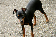 miniature pinscher in barking mode