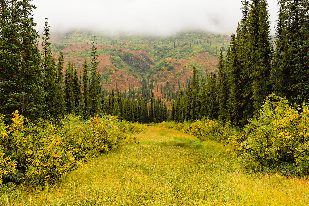 A foggy wet afternoon accentuates the greens and yellows along a marshy stream through spruce trees contrasting with the fall alpine colors along the Denali Highway in Southcentral Alaska.