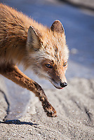 Red fox, Vulpes vulpes, walking on the beach, Katmai National Park, Alaska