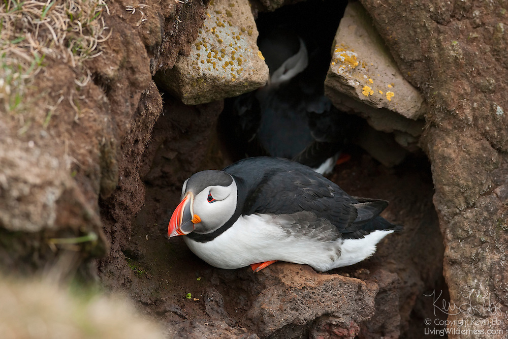 An Atlantic puffin (Fratercula arctica) guards the entrance to its burrow while its mate tends to their nest in the Látrabjarg bird cliff in Iceland. Puffins nest in burrow at the top of the bird cliff, up to 440 meters (1444 feet) above the Atlantic Ocean. Látrabjarg, Europe's largest bird cliff, hosts up to 40 percent of the breeding populations of some species.