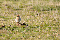 This male American kestrel cares little about what he perches on warming in the morning sun in a Utah cow pasture.
