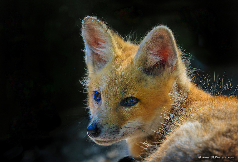 Kit grey fox in front of its den.