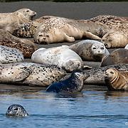 Lounging Elephant Seals, Bolinas Lagoon, California
