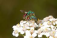 Jewel or Ruby-tailed Wasp - Hedychrum niemelai - male