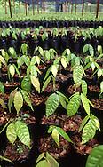 Cultivo del Cacao. Los viveros garantizan la calidad del cacao porque se controla el crecimiento de las plantas. 2002 (Ramón Lepage / Orinoquiaphoto)  Culture of the Cocoa. Cocoa's Nursery guarantee the quality of the cocoa because the growth of the plants is controlled. 2002 (Ramon Lepage / Orinoquiaphoto)