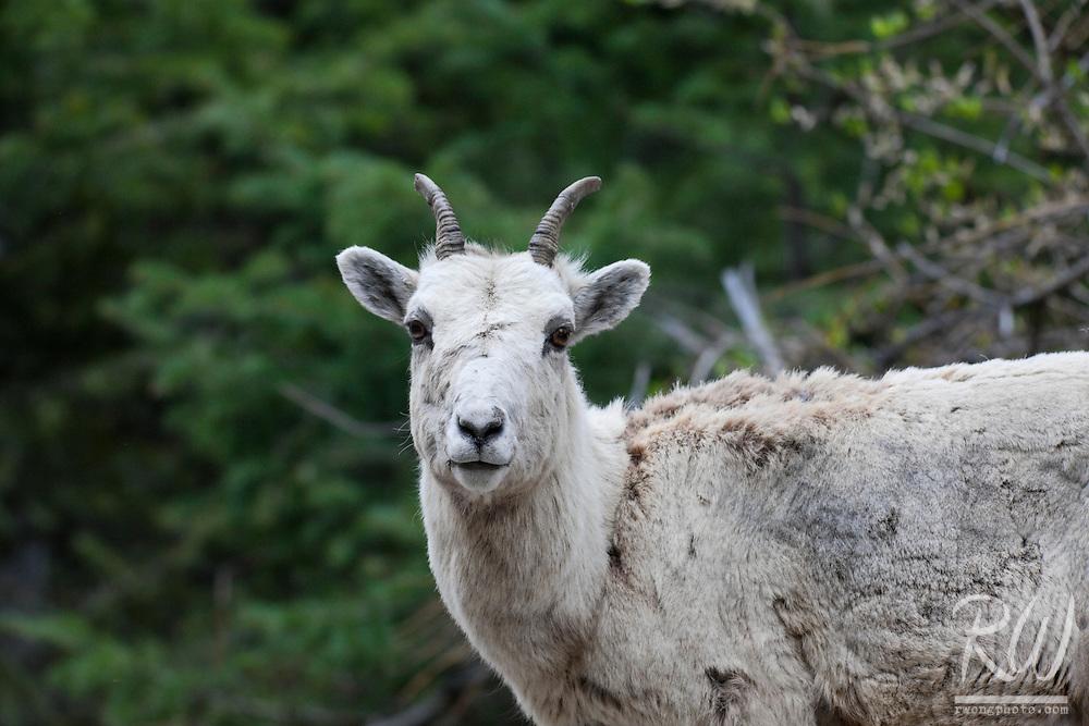Female Bighorn Sheep (Ovis canadensis), Banff National Park, Alberta, Canada