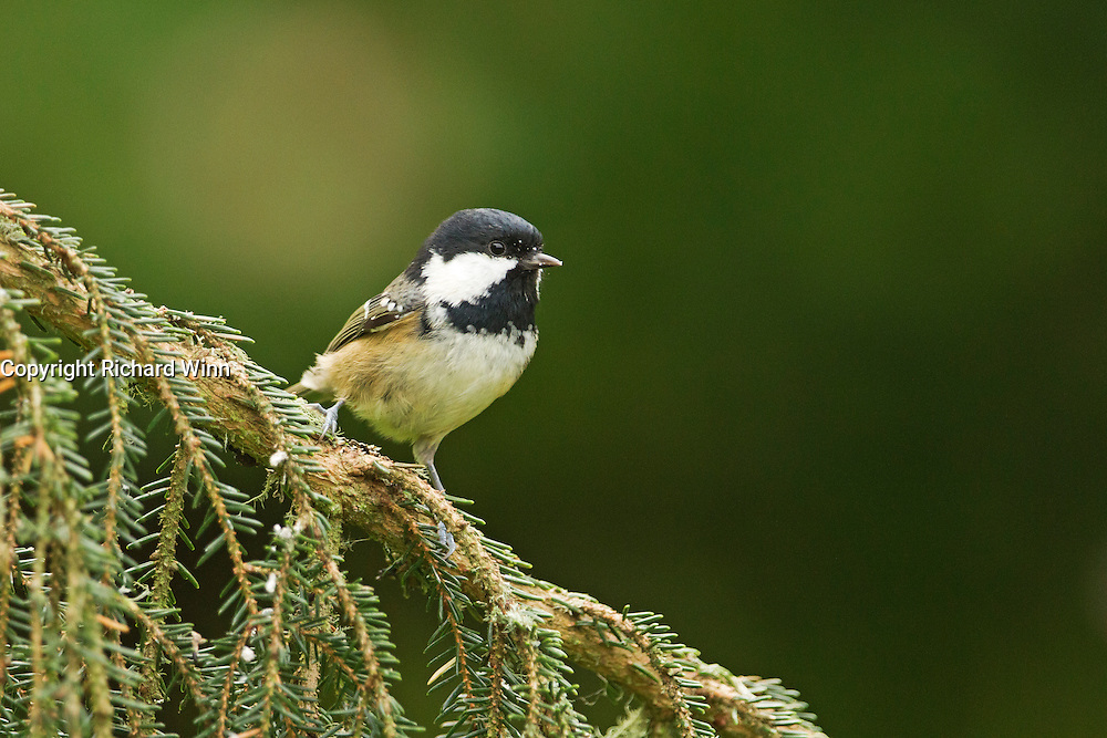 Coal tit (Periparus ater) perched on a pine branch near a feeder.