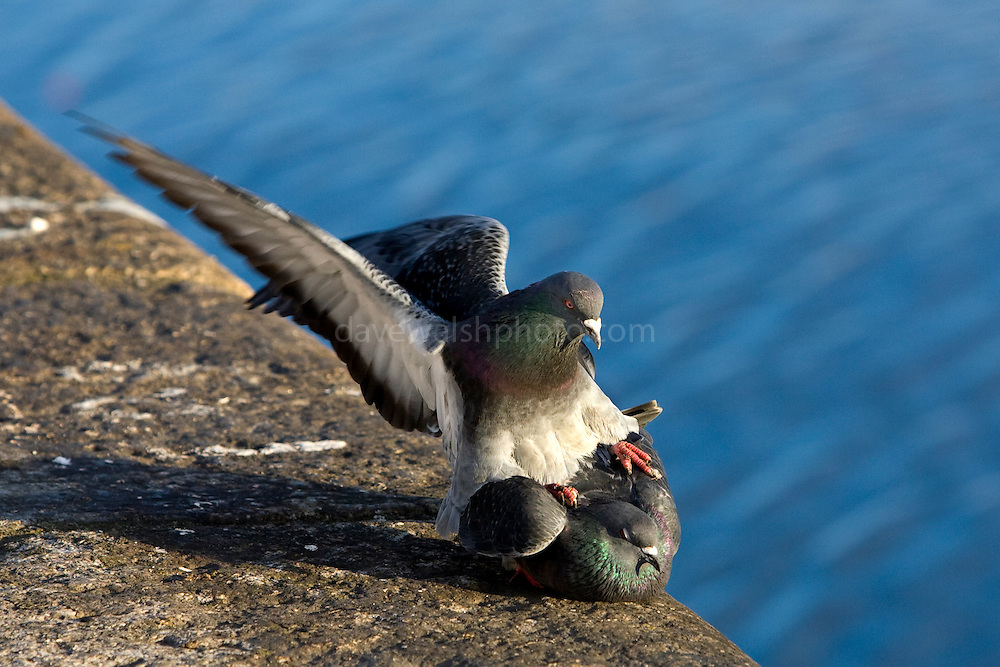 Pigeons mating on the north quay, Dublin