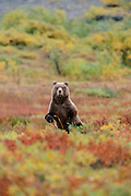 Brown Bear Standing and looking at camera in fall , Denali National Park, AK