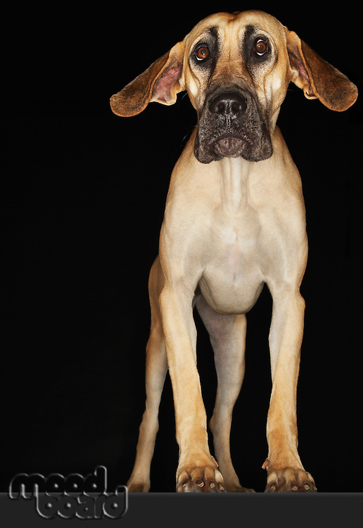 Great Dane standing with ears extended front view