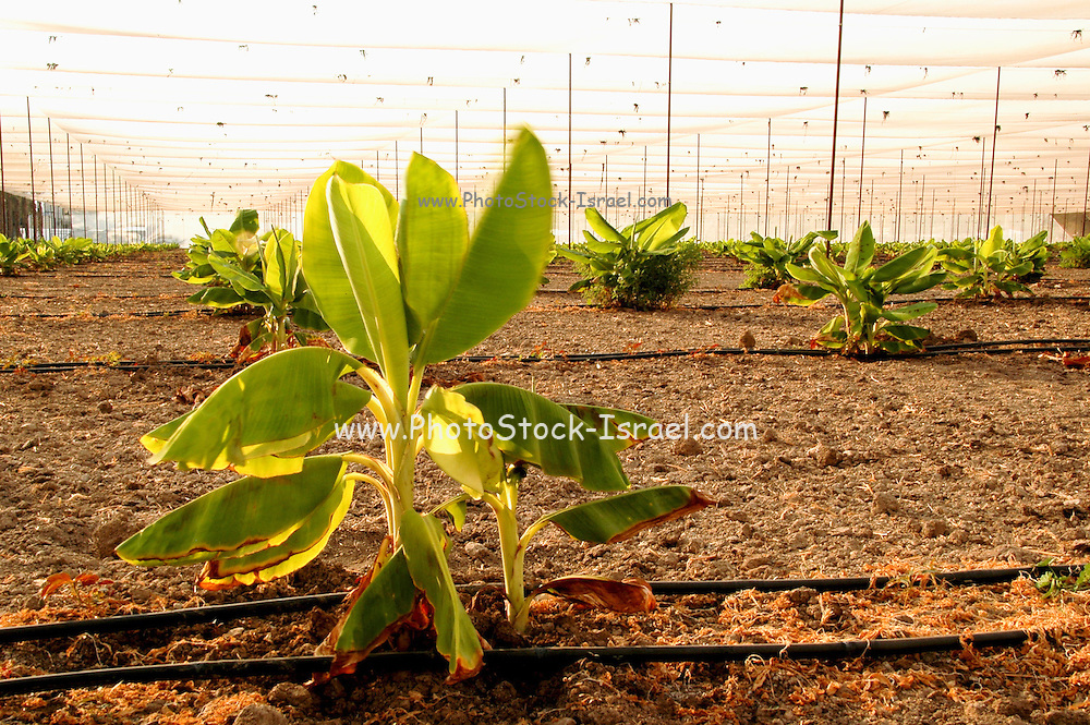 Israel, Jordan Valley, Kibbutz Ashdot Yaacov, Newly planted young banana plants in a Banana Plantation. Drip irrigation system can be seen