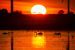 © Licensed to London News Pictures. 27/10/2019. Whittlesey, UK. Swans swim across flood water as the sun sets over the Nene Washes Flood Storage Reservoir for the River Nene in Whittlesey, Cambridgeshire, which has become full after heavy rain. Nene Washes is a 15 square kilometre biological Site of Special Scientific Interest on the bank of the River Nene east of Peterborough in Cambridgeshire. It is also a Special Protection Area and Ramsar Site. Photo credit: Andrew McCaren/LNP