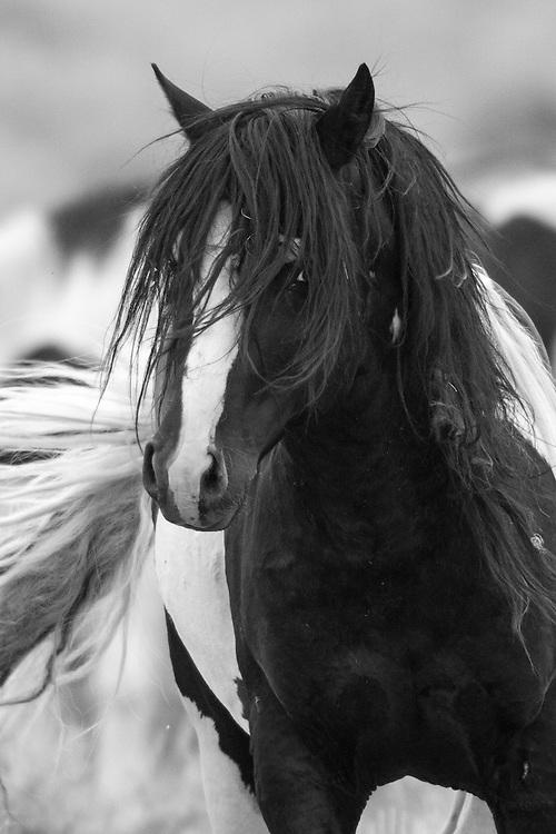 Ever vigilant, the wild stallion, Washakie, eyes a rival stallion that has gotten too close to his three mares.