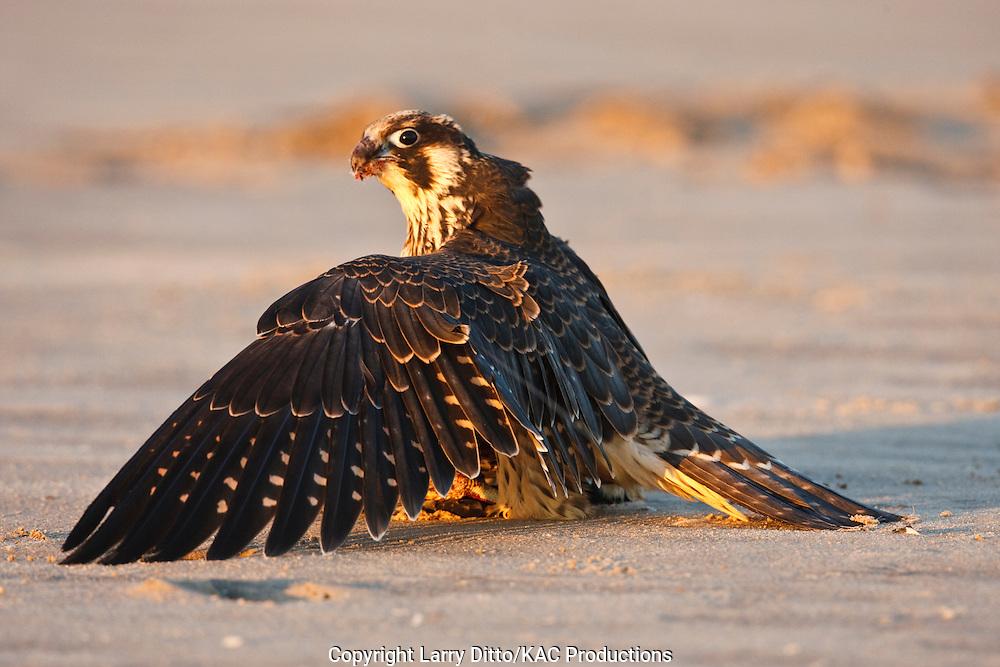 Peregrine Falcon (Falco peregrinus) juvenile on ground after feeding, South Padre Island, Cameron Co., Texas, USA