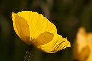A backlit golden poppy in the Sunken Gardens, Napier, New Zealand