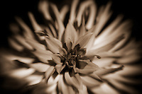Softly focused dahlia in sepia tone.
