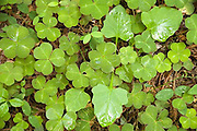 Clover Leaves, Redwood National Park, California
