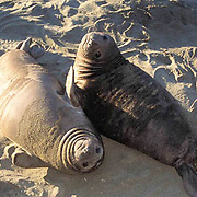 Northern Elephant Seal, (Mirounga angustirostris)  Young weaners lounging on beach. California.