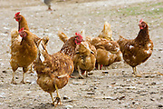 Chickens, Gascony, France. Free-range birds may be at risk if Avian Flu (Bird Flu Virus) spreads