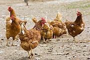 Chickens, Gascony, France. Free-range birds may be at risk if Avian Flu (Bird Flu Virus) spreads