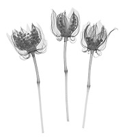 X-ray image of dried fireball hibiscus seed capsules (Hibiscus 'Fireball', black on white) by Jim Wehtje, specialist in x-ray art and design images.