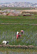 Working in the rice paddy fields outskirts of Antananarivo, Madagascar...© Zute & Demelza Lightfoot
