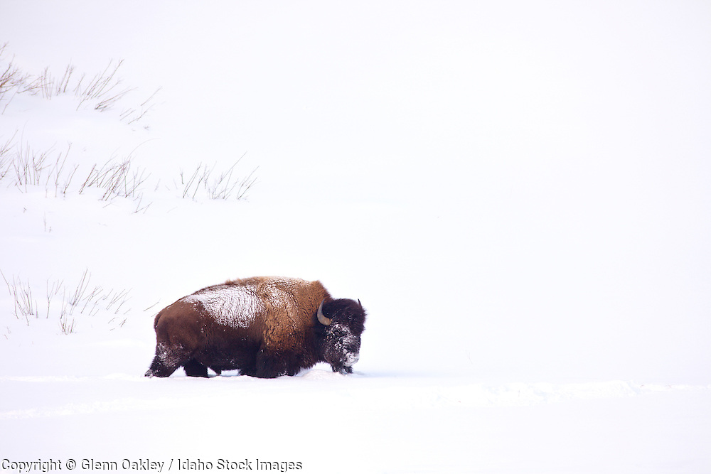 Bison in snow, Yellowstone National Park