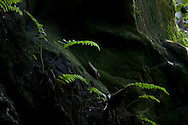 Image of Hawaiian tropical fern growing on lava rock, Waianapanapa State Park, near Hana, Maui, Hawaii