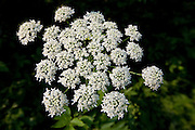 Cow Parsnip; Heracleum maximum; flower; umbel; WA, Mt. Baker-Snowqualmie National Forest