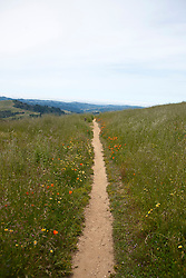 Hiking trail with wild flowers and tall grass, Russian Ridge Open Space hiking trails, Palo Alto, California, United States of America.