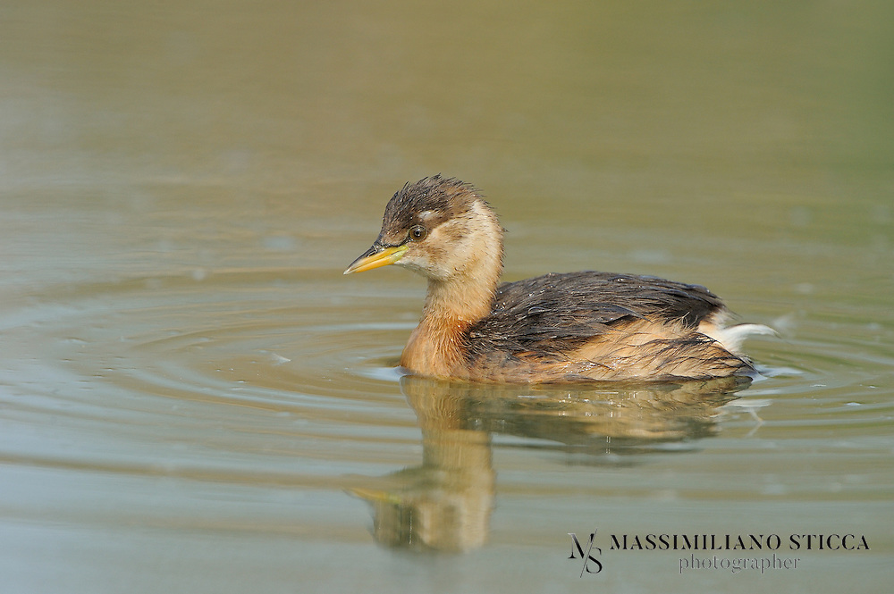 The Little Grebe (Tachybaptus ruficollis), also known as Dabchick, is a member of the grebe family of water birds. At 23 to 29 cm in length it is the smallest European member of its family. It is commonly found in open bodies of water across most of its range.