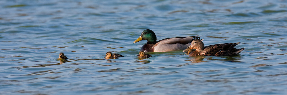 A mallard pair and they're newly hatched chicks swim through open water