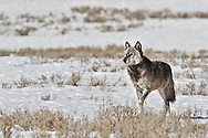 Alpha Wolf, Canyon Pack, 712m, Hayden Valley, Yellowstone National Park