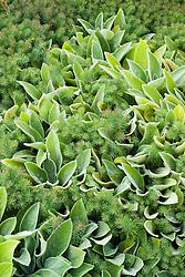 Stachys byzantina syn. S. lanata with Euphorbia cyparissias 'Fens Ruby'. Lamb's ears