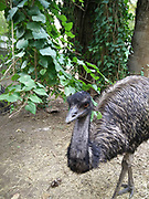 closeup of the head of an Emu (Dromaius novaehollandiae) the largest bird native to Australia