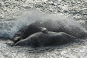 Once mating starts it can last a long time! This pair were clasped together for over 45 minutes as the tide came in.