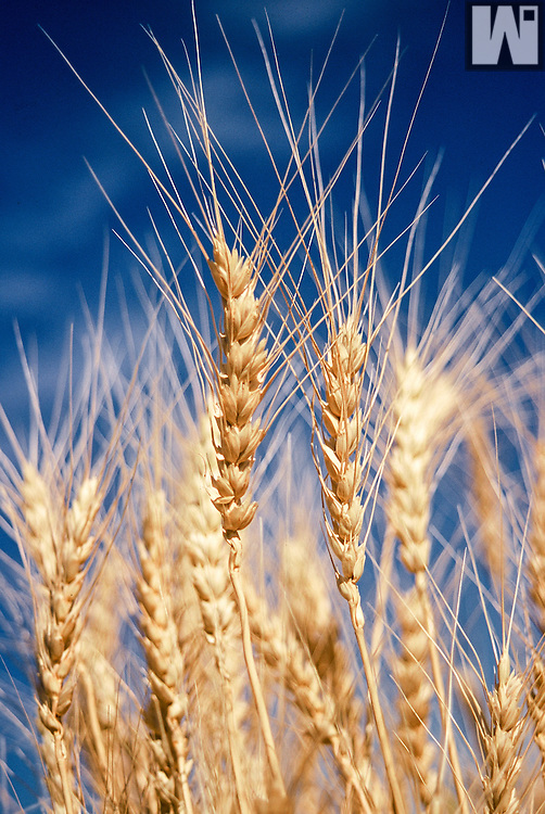 Mature wheat ready to harvest in Southeastern Wyoming.