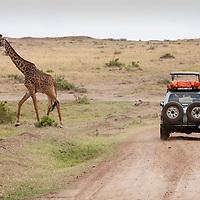 Africa, Kenya, Masai Mara Game Reserve, Safari Truck stops near Giraffe (Giraffa camelopardalis)walking on savanna