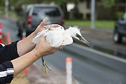 Snowy Egret<br /> Egretta thula<br /> Fledgling rescued from road at Ninth Street Rookery<br /> Santa Rosa, California