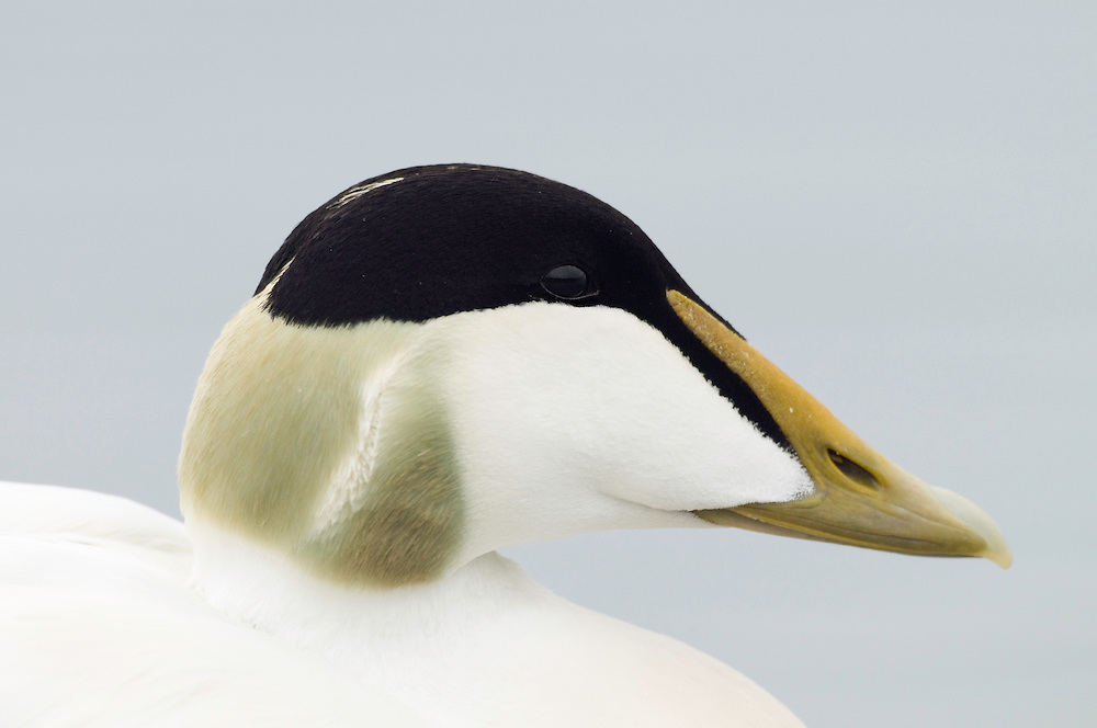 10.06.2008.Common eider (Somateria mollissima) male, close-up.Jökulsárlón glacial lagoon.Iceland