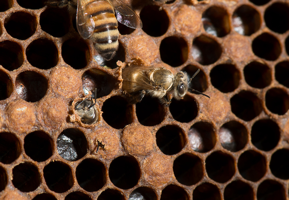 European honey bee (Apis mellifera), hatching, Captive,  credit: Palo Alto JMZ/M.D. Kern