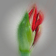 Digitally enhanced image of a flowering red Hippeastrum flower. (Sometimes called incorrectly, amaryllis). emerging from the bud. Photographed in Israel in March