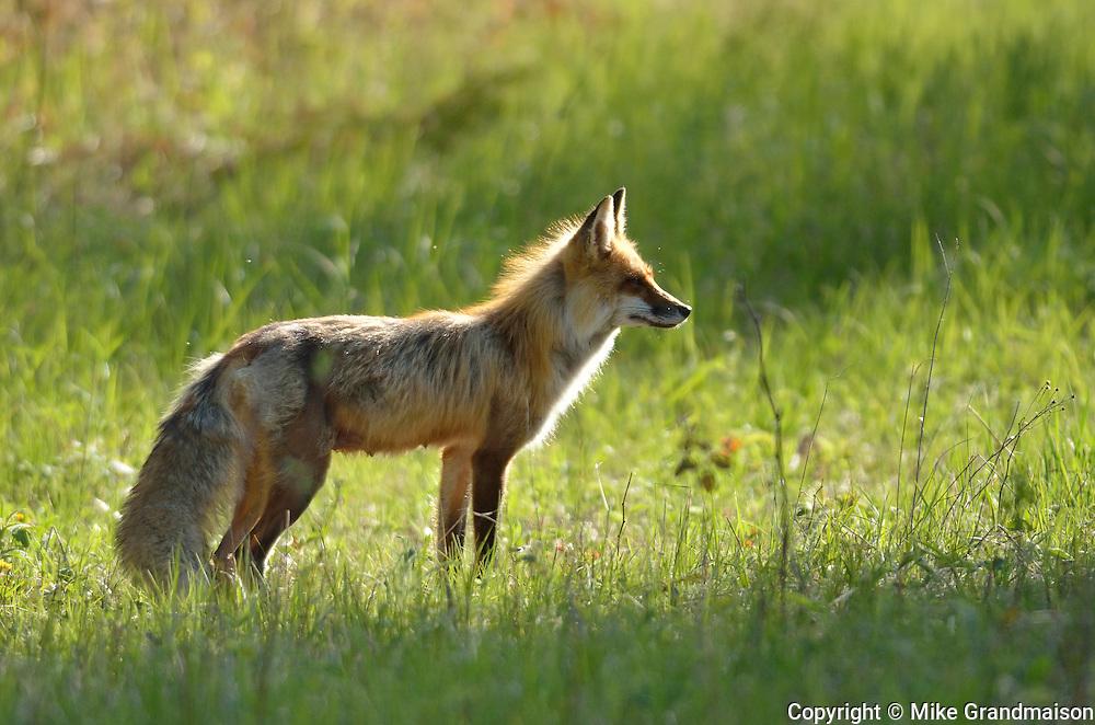 Red fox (Vulpes vulpes) <br /> Whiteshell Provincial Park<br /> Manitoba<br /> Canada